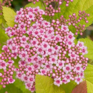 Big Bang Spirea