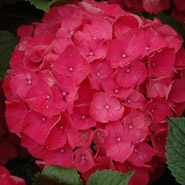 Next Generation Red Sensation Hydrangea