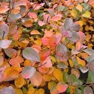 White Frost Birchleaf Spirea Fall