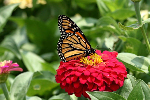garden center louisville ky. Butterfly On Zinnia Flower Garden Center Louisville Ky