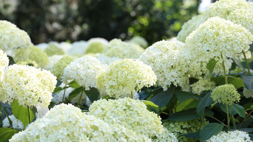 10 Things Hydrangea Lovers Should Know | Wallitsch Garden Center