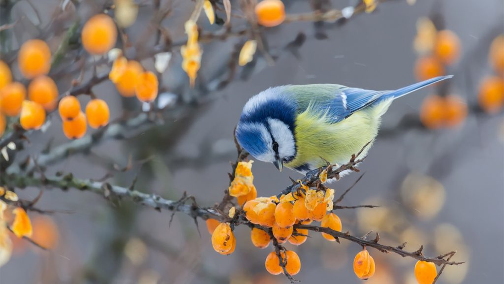 plant a berry garden for winter birds