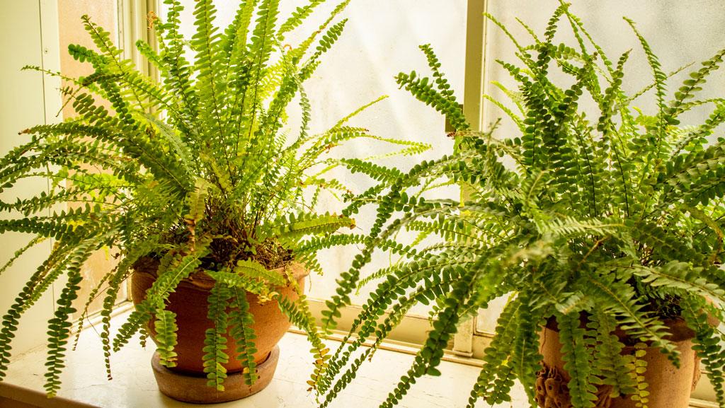 4 Ferns You Can Grow Indoors | Wallitsch Garden Center